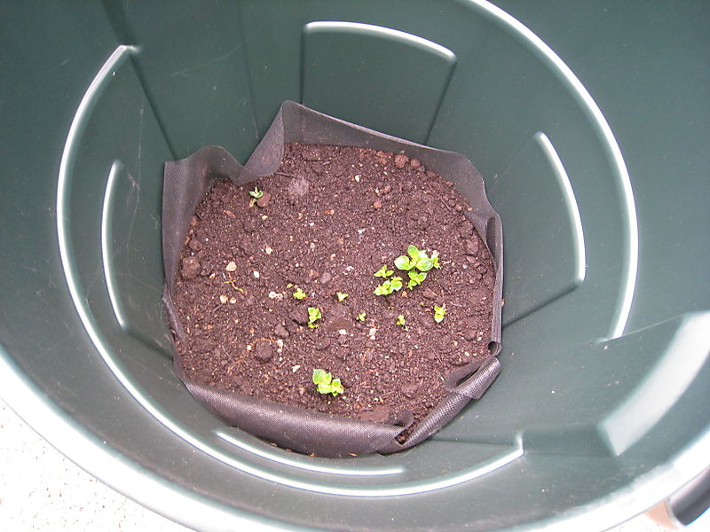 Potatoes Sprouting - 2008-06-02