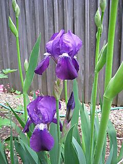 Purple Iris - 2008-06-02