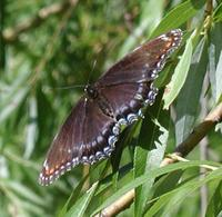 Butterfly_closeup_2