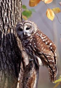 Barred_owl_image001_2