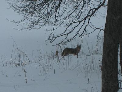 Coyote_closeup_20080105