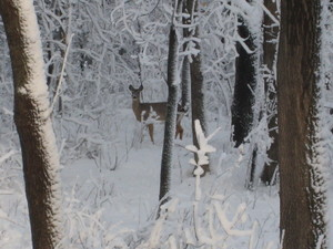 Deer_in_snow_2_20080401
