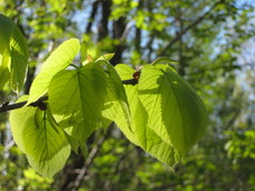Elm_leaves_20080511_2