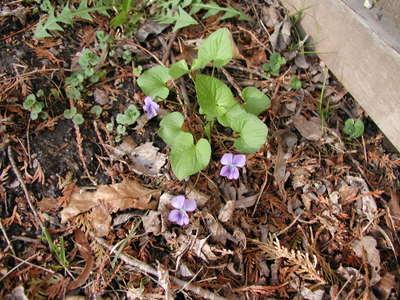 Blue_violets_050206_3