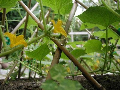 Cucumber_flowers_062906