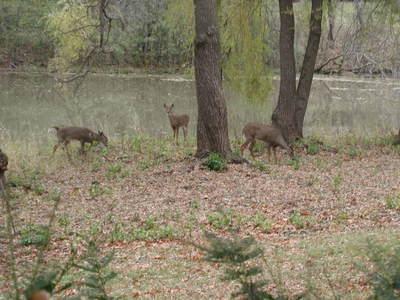 Deer_at_pond_2_102306