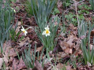 First_daffodils_041806