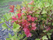 Maple_leaf_viburnum_090206