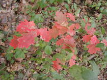 Oak_leaves_102306