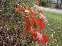 Oak_leaves_2_102306