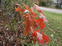 Oak_leaves_2_102306