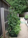 Potted_tomatoes_062906