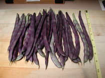 Purple_podded_pole_beans_091106