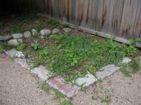 Rhubarb_weed_patch_052706