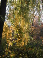 Sun_through_willow_100206