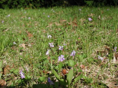 Violets_in_yard_050206_2