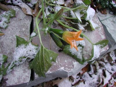 Zucchini_in_snow_101206